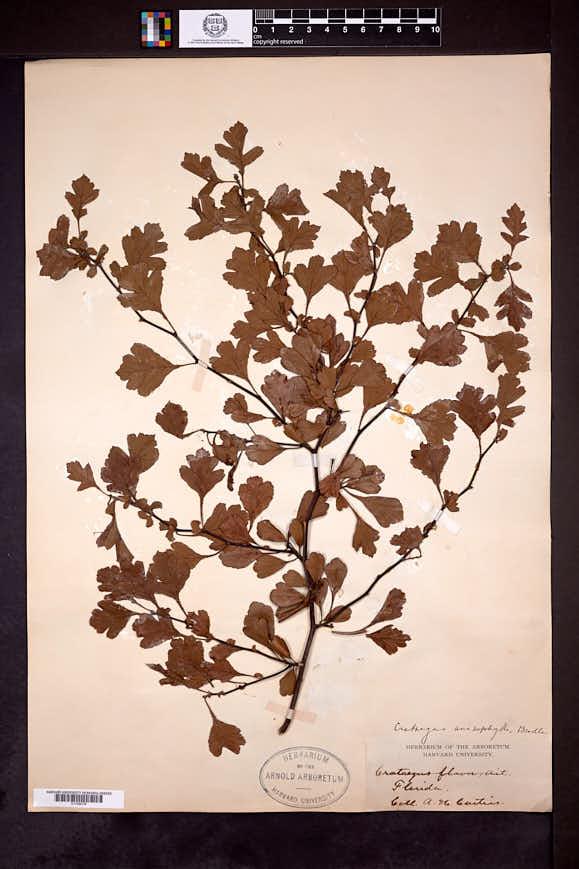 Crataegus anisophylla image