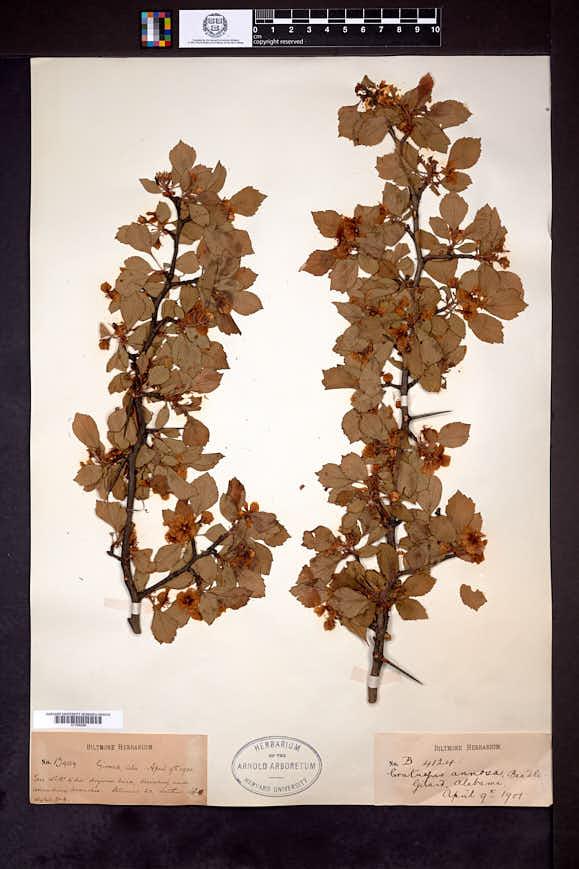 Crataegus annosa image