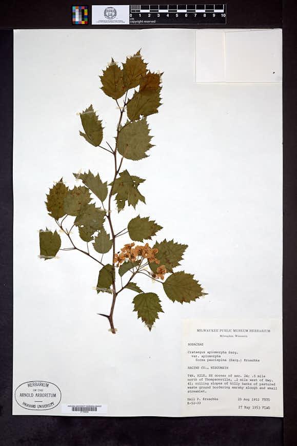 Crataegus apiomorpha image