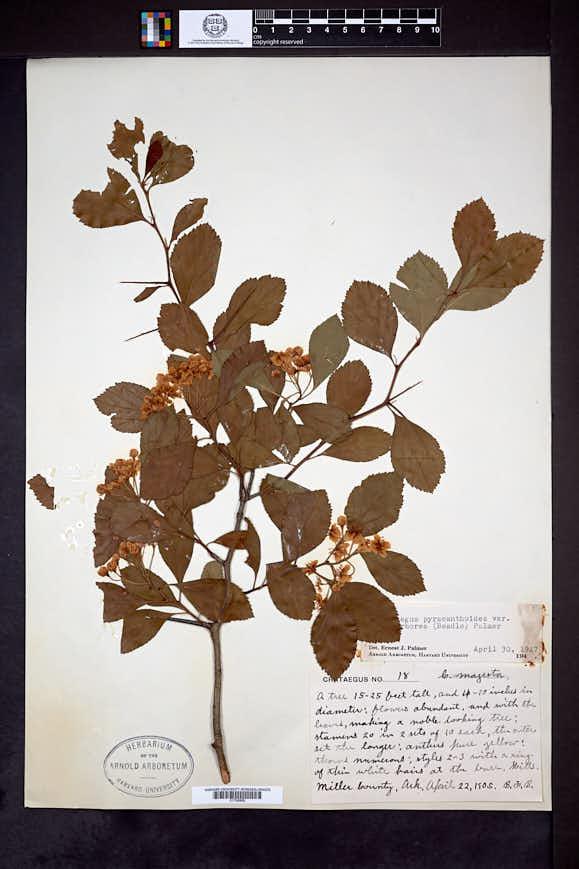 Crataegus arborea image