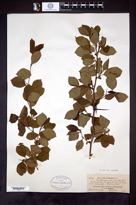 Crataegus ashei image