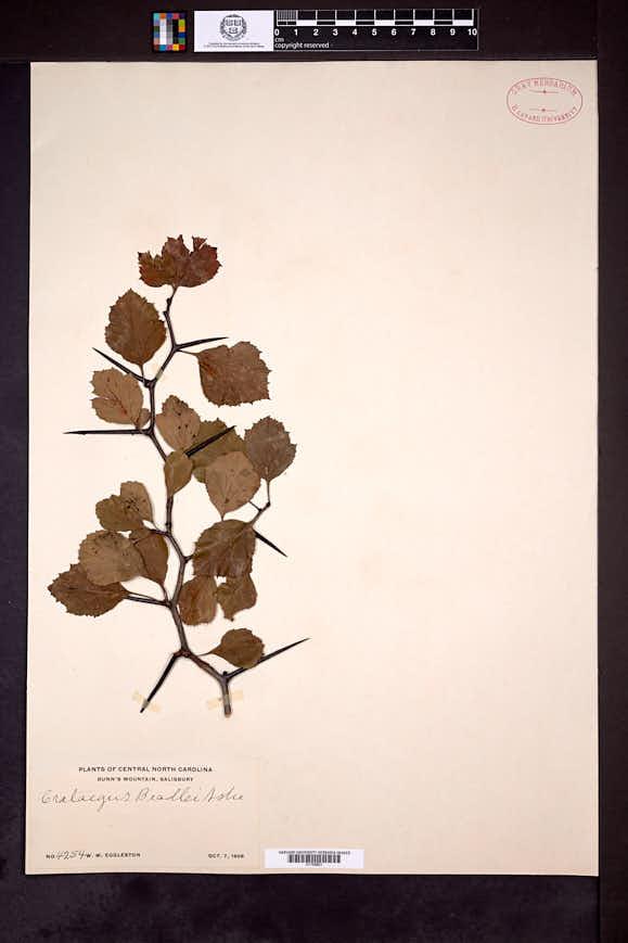 Image of Crataegus beadlei