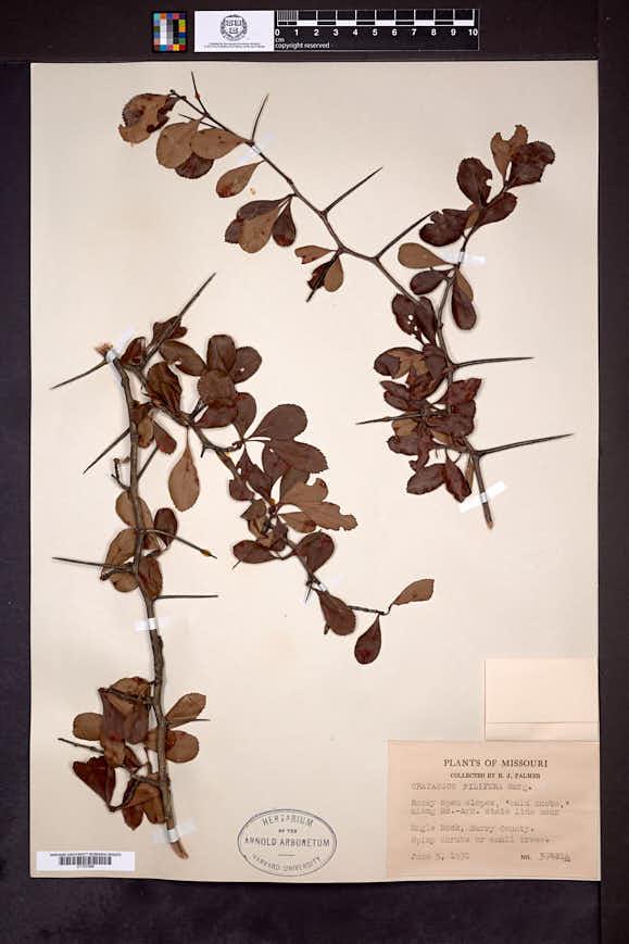 Crataegus berberifolia image
