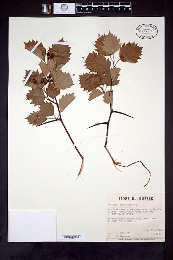 Crataegus brunetiana image