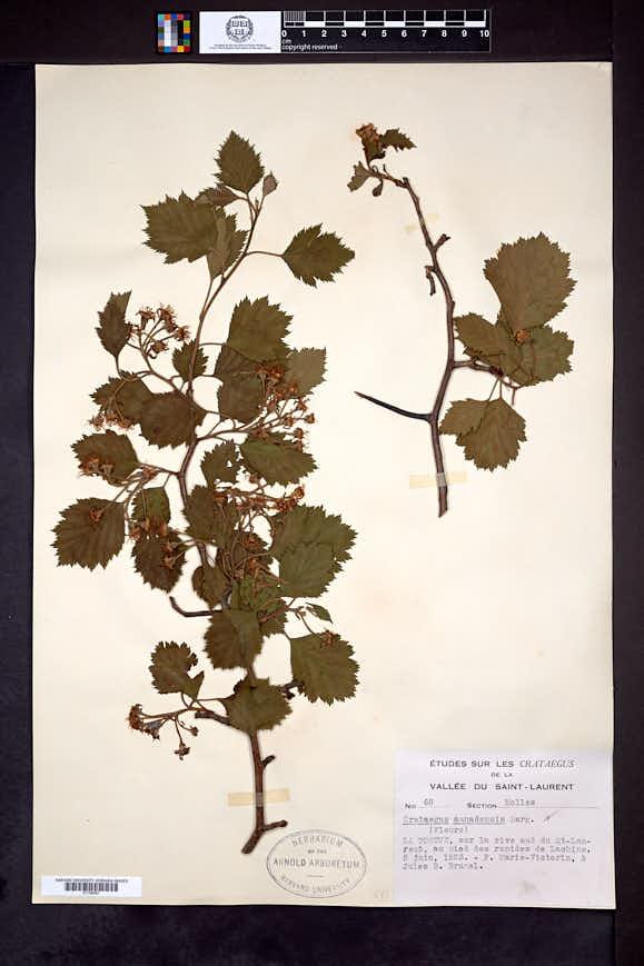 Crataegus canadensis image