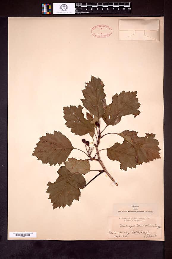 Crataegus chrysocarpa image