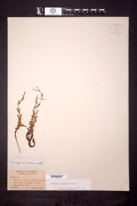 Epilobium oregonense image