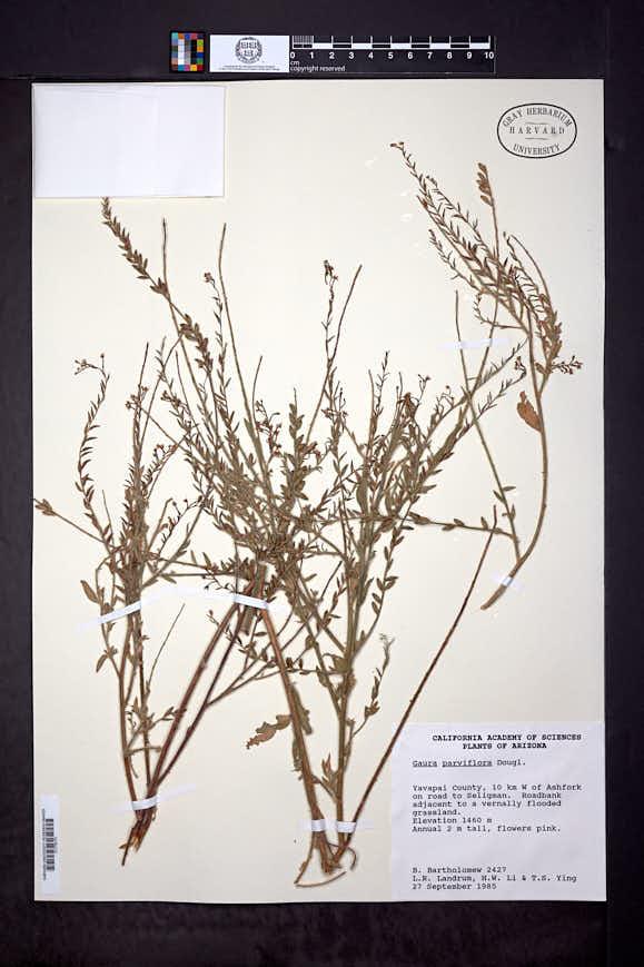 Oenothera curtiflora image