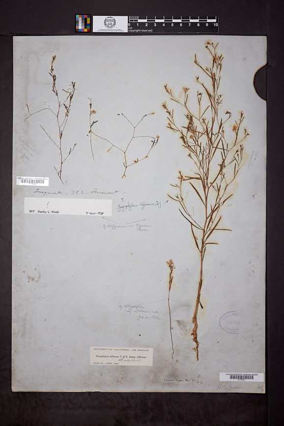Gayophytum diffusum image