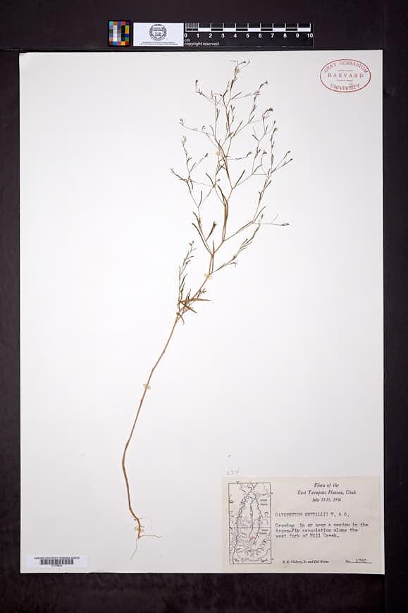 Gayophytum humile image