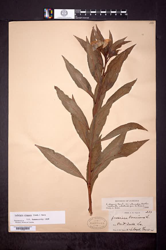 Image of Ludwigia elegans