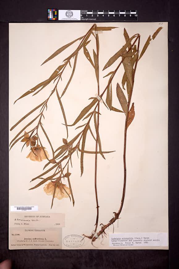 Ludwigia octovalvis image