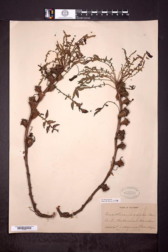 Image of Oenothera acaulis