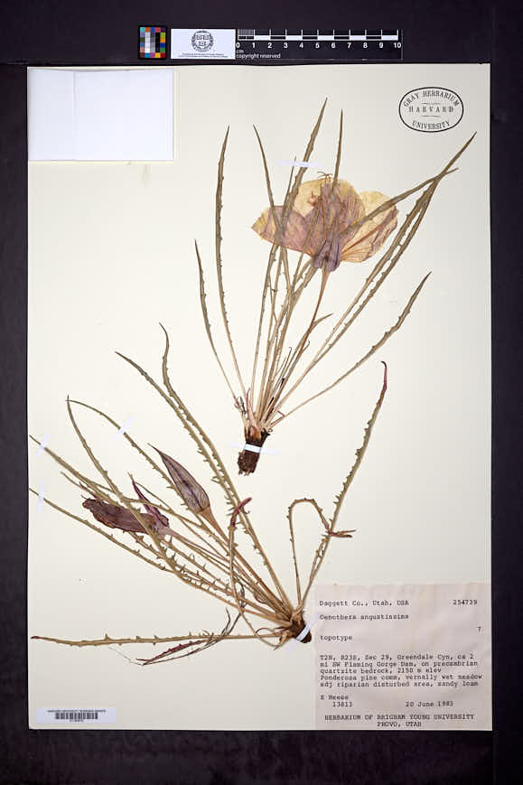 Image of Oenothera angustissima
