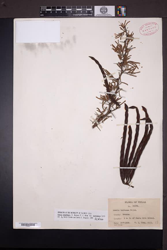 Acacia schaffneri image