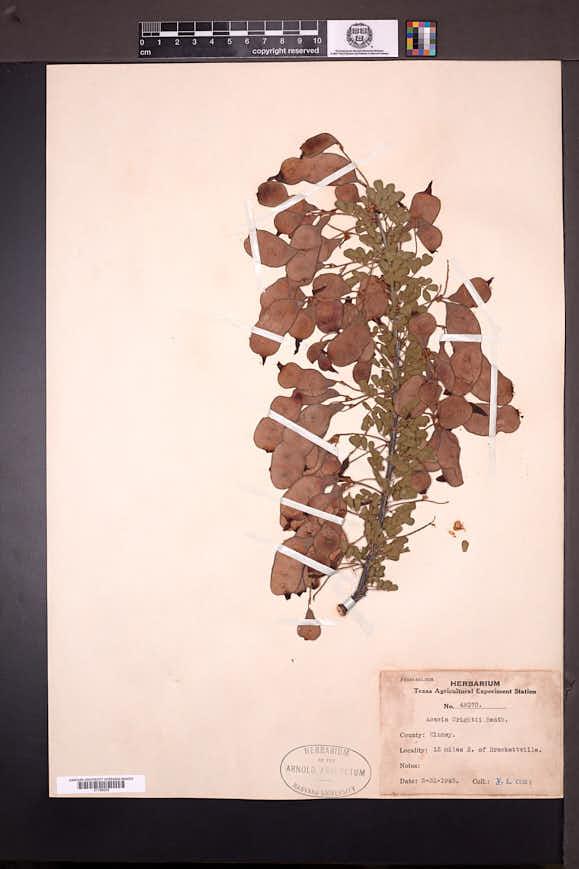Acacia wrightii image
