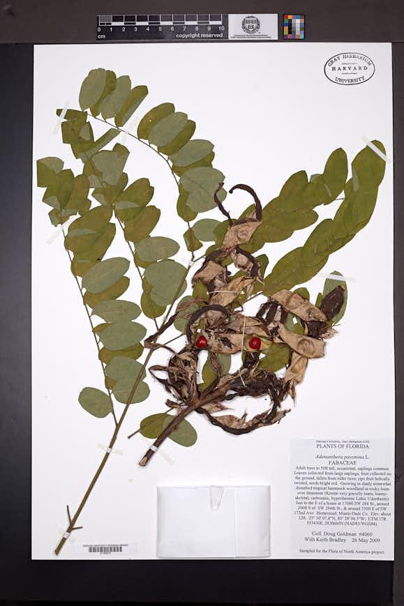 Adenanthera pavonina image