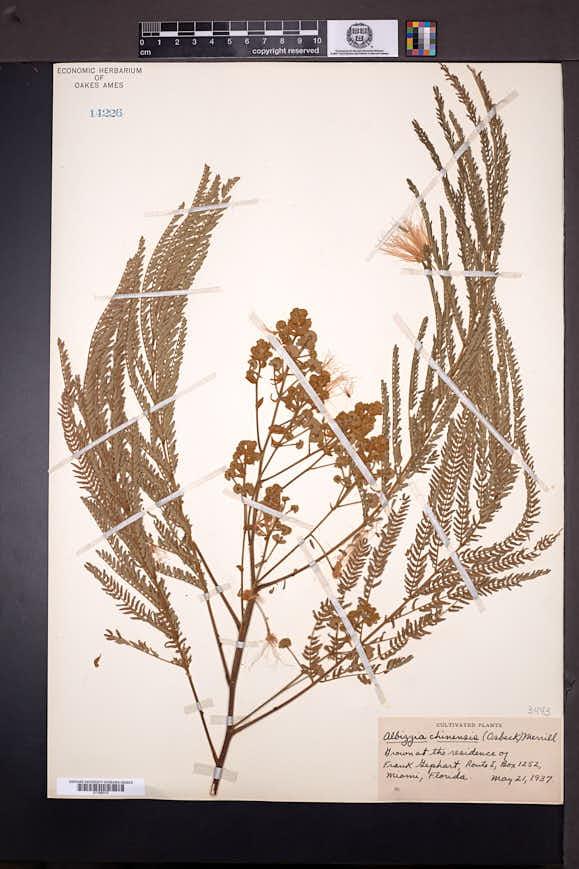 Albizia chinensis image