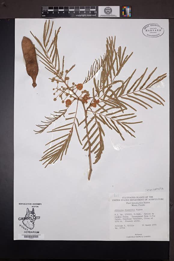 Image of Albizia myriophylla