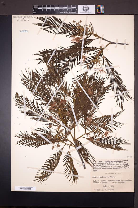 Image of Albizia polyphylla
