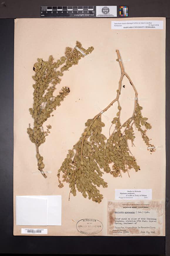 Mortonia utahensis image