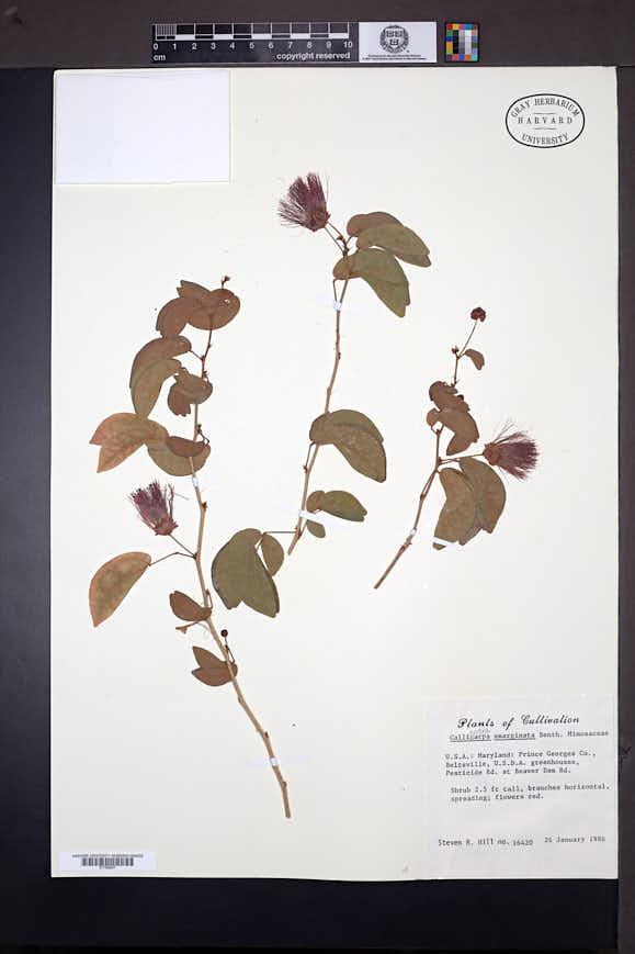Calliandra tergemina var. emarginata image