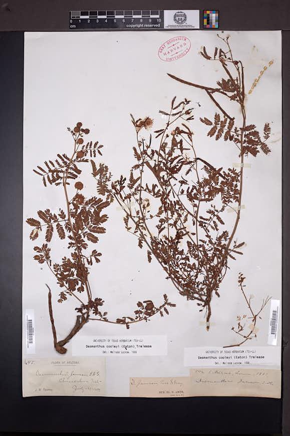 Desmanthus cooleyi image