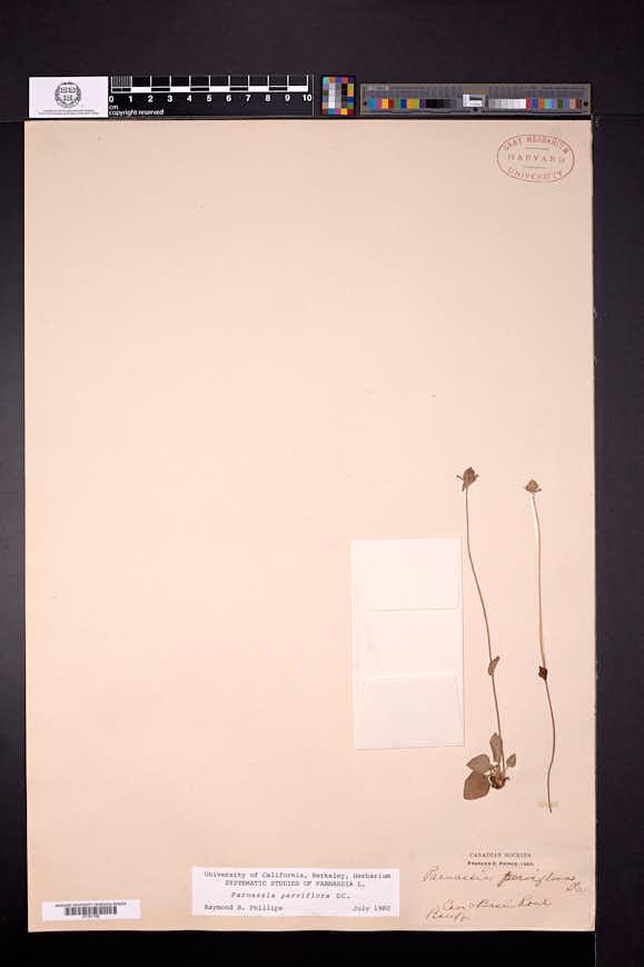 Parnassia palustris var. parviflora image