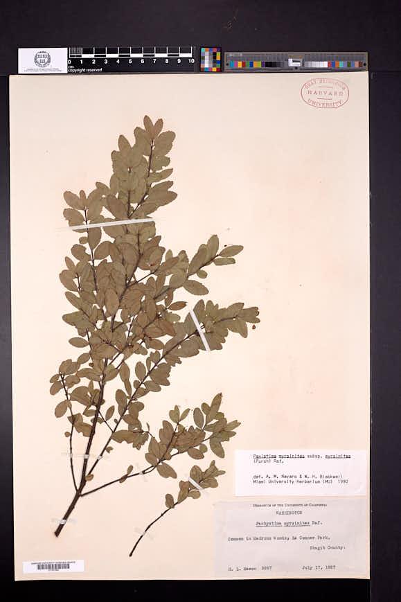 Paxistima myrsinites image
