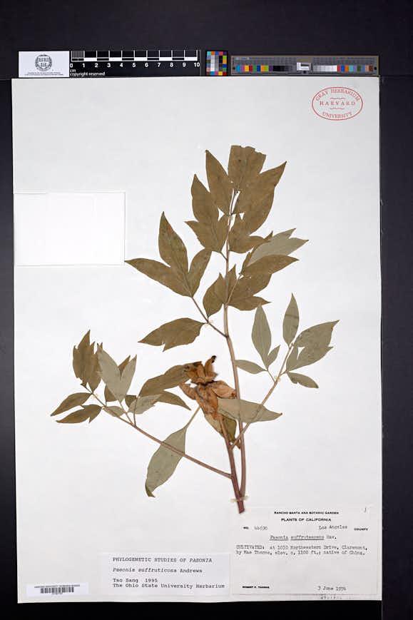 Paeonia suffruticosa image