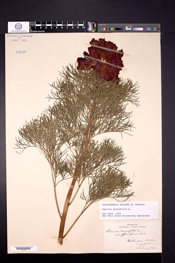 Paeonia tenuifolia image
