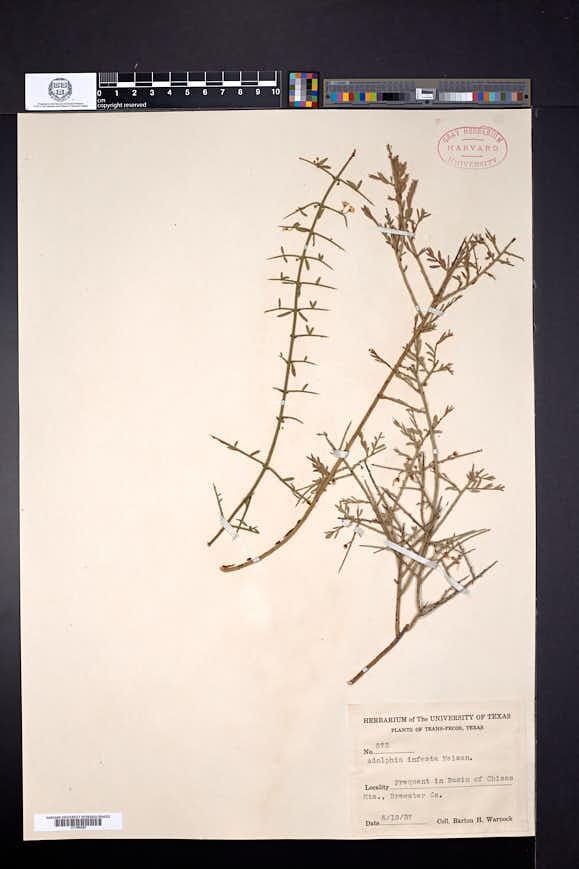 Adolphia infesta image