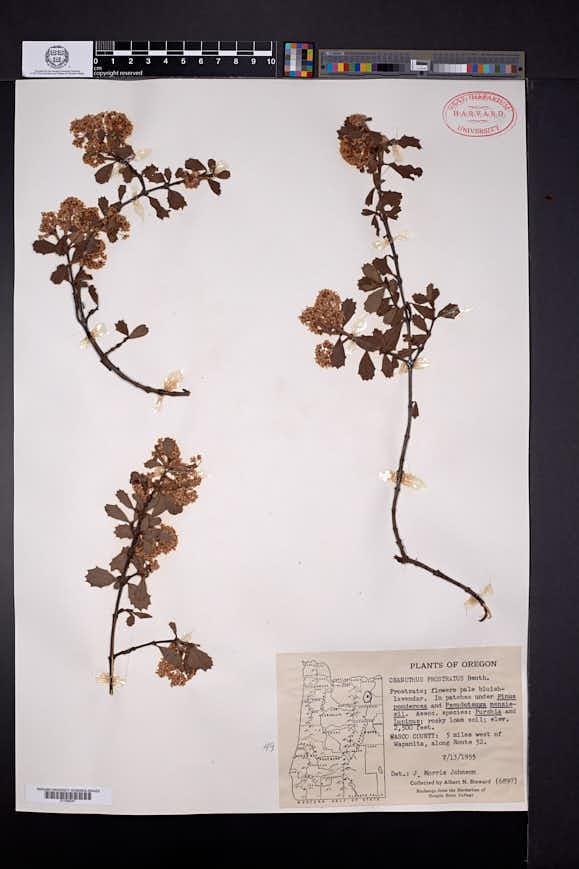 Ceanothus prostratus image