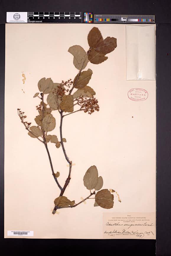 Ceanothus sanguineus image