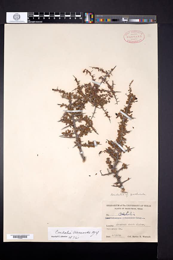 Condalia warnockii image
