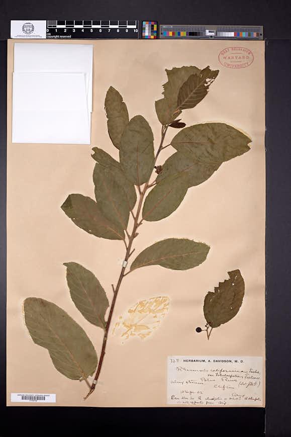 Frangula betulifolia image