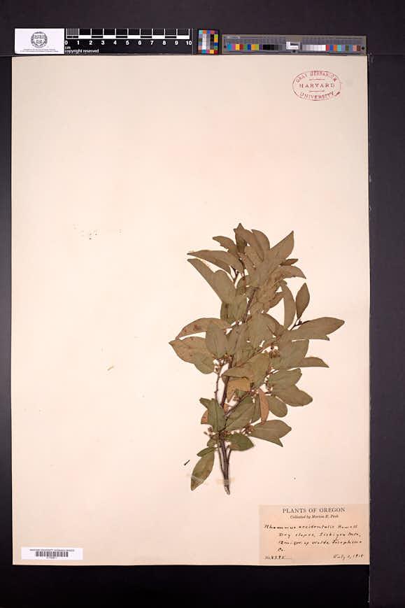 Frangula californica image