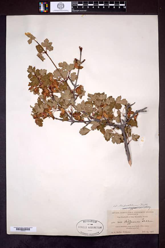 Acer glabrum var. diffusum image