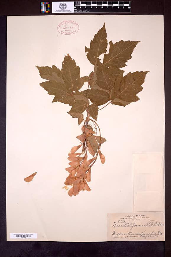 Acer negundo var. californicum image