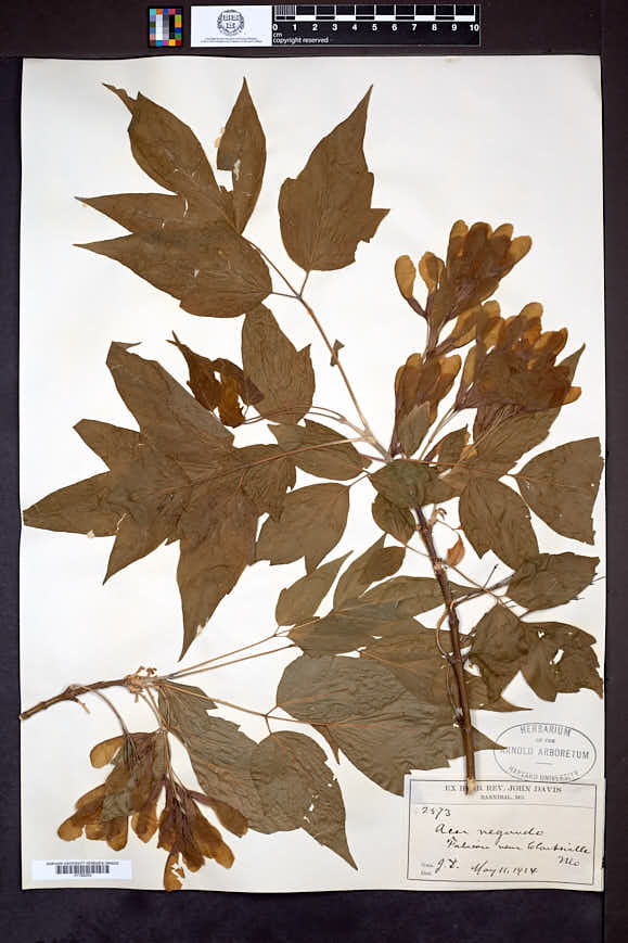 Acer negundo var. violaceum image