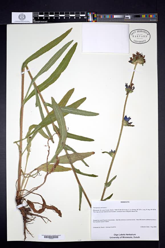 Image of Campanula cervicaria