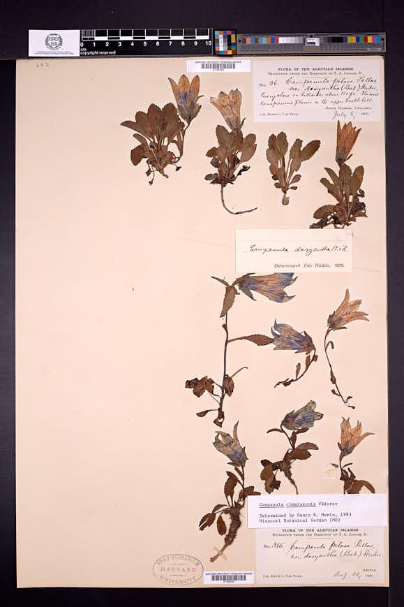 Campanula chamissonis image