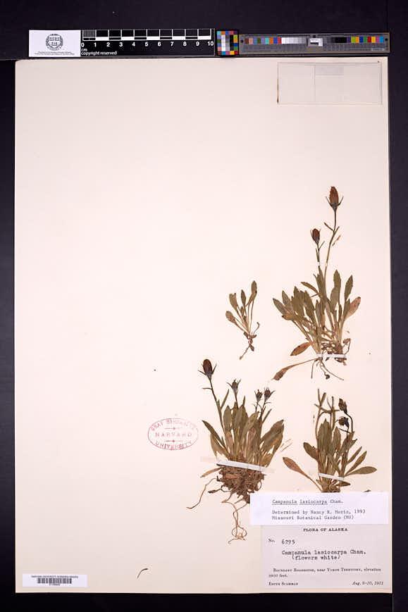 Campanula lasiocarpa image