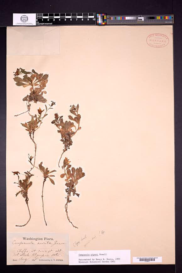 Campanula piperi image