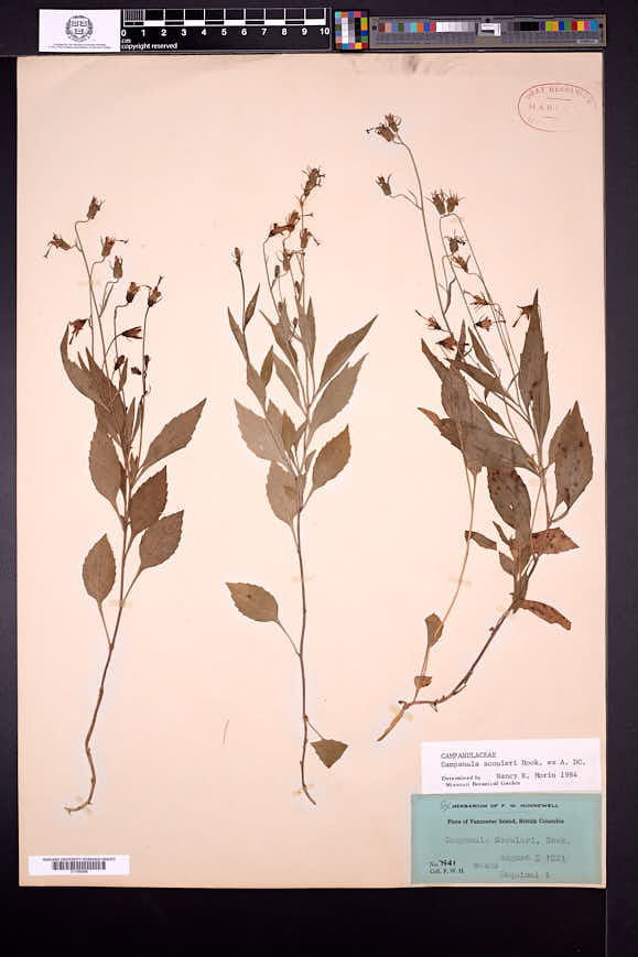 Campanula scouleri image