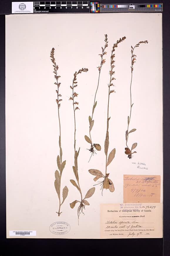 Lobelia spicata var. hirtella image