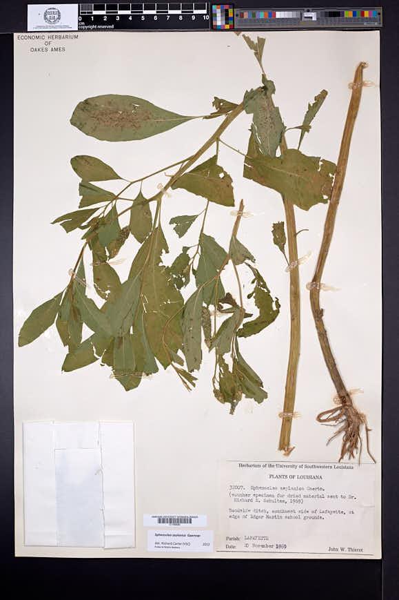 Sphenoclea zeylanica image
