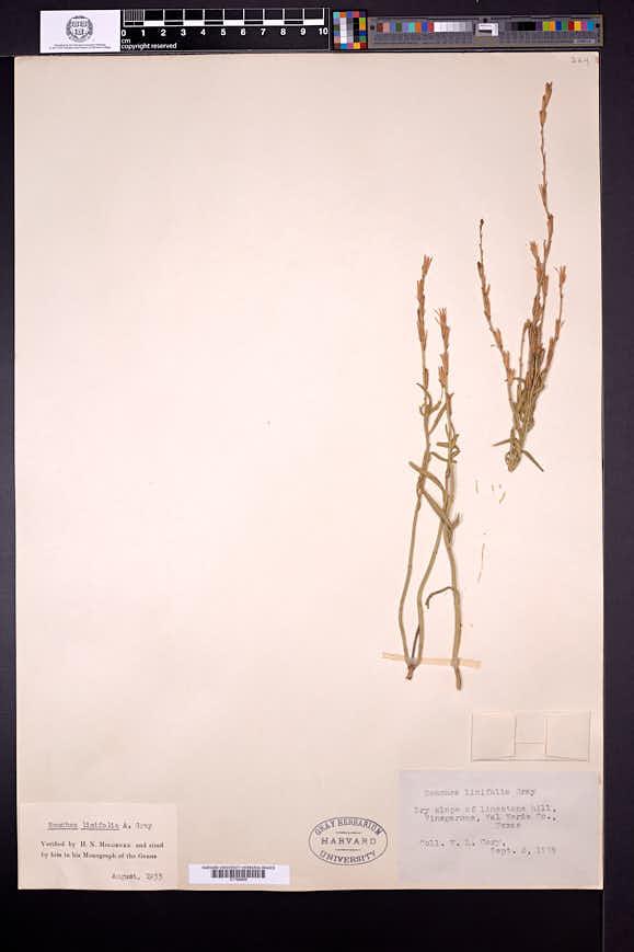 Bouchea linifolia image