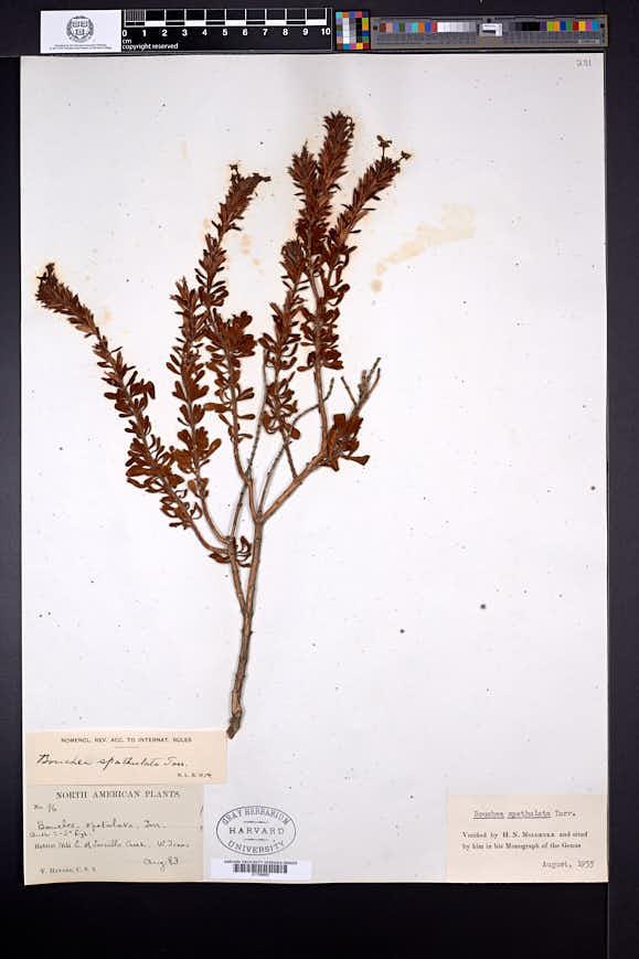Image of Bouchea spathulata