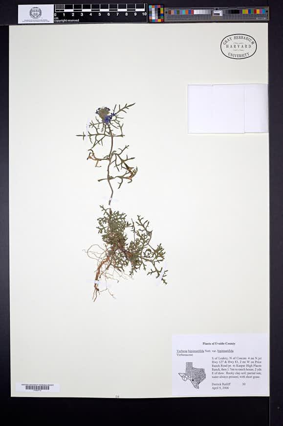 Glandularia bipinnatifida image